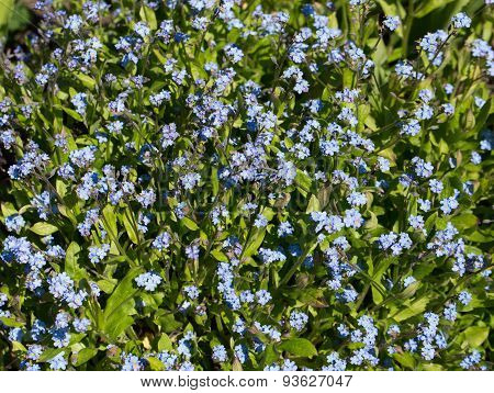 Blue forget-me-not flowers in a garden