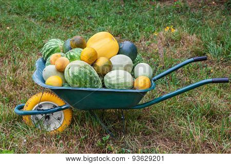 Wheelbarrow With Freshly Harvested Crop