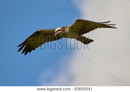 Hunting Osprey In The Sky