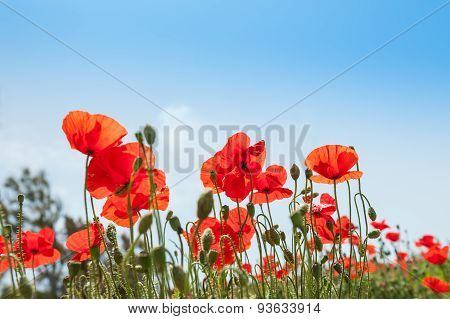 Field With Beautiful Red Poppy Flowers