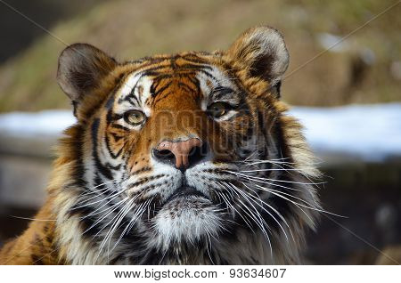 Look in the eyes of tiger - young adult Bengal tiger male full face portrait with rocks and snow beh