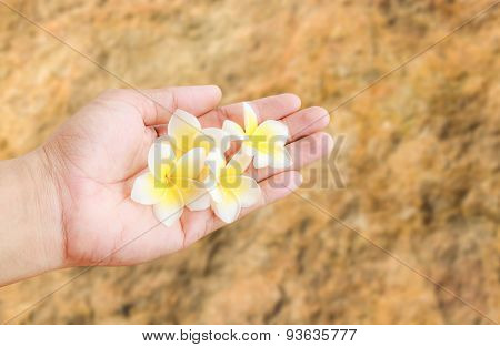 Fresh Tropical Plumeria Flower In Hand Holding With Blurred Background