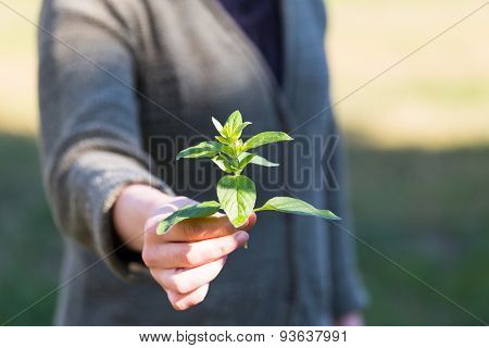 Woman Hands With Fresh Just Picked Oregano Twig