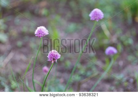 Chives Flowers In Nature