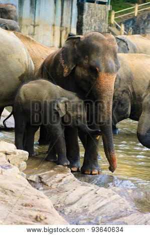 Baby elephant and his mother in Pinnawala Elephant Orphanage, Sri Lanka