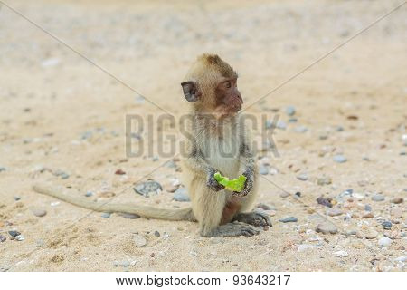 Crab-eating Macaque.