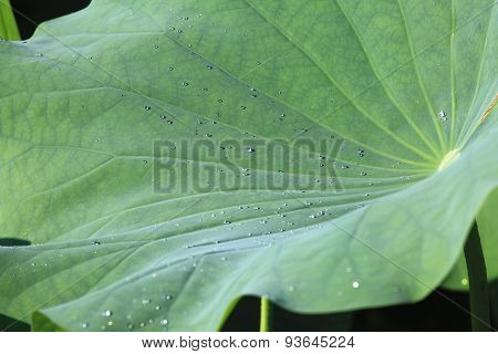Lotus leaf and dew