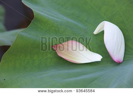 Peony Lotus petals and leaf