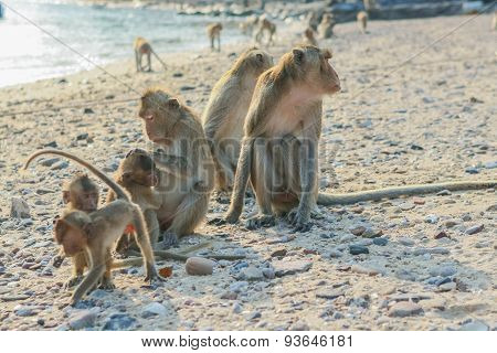 Monkey's Family on the Beach