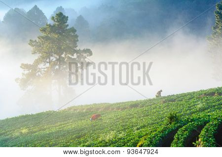 Chiang Mai, Thailand-december 11 : Workers Harvesting  Strawberry In Strawberry Field On December 11