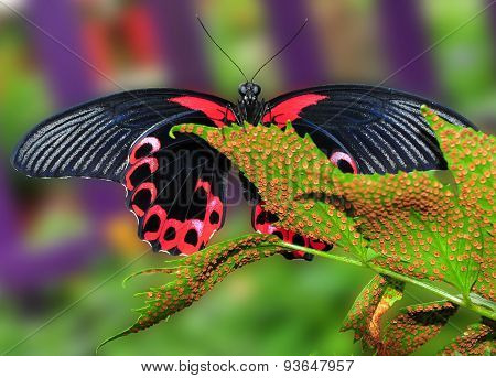 Scarlet Mormon Butterfly On Leaf