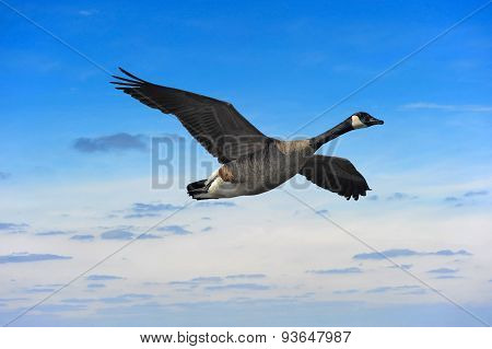 Canada Goose Soaring