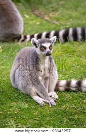 Lemur sitting in the grass
