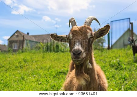 Haired Goat On The Farm