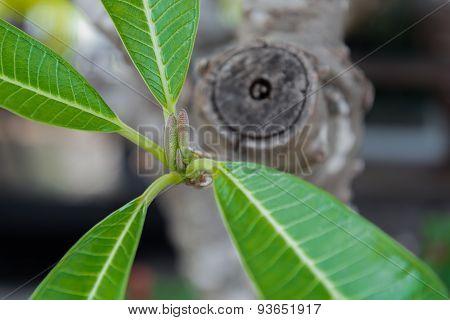 Bud of Plumeria