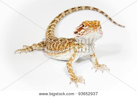 Pogona isolated