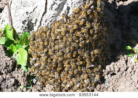 Swarm Of Bees On A Tree