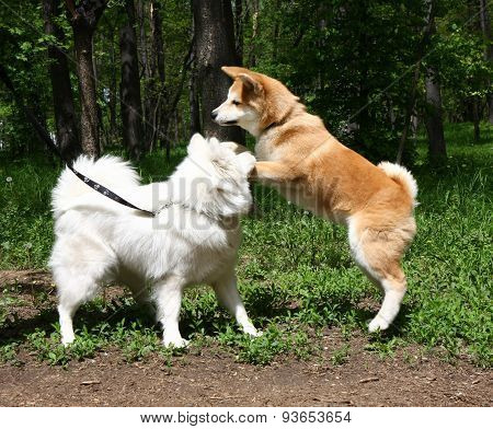 Samoyed And Akita