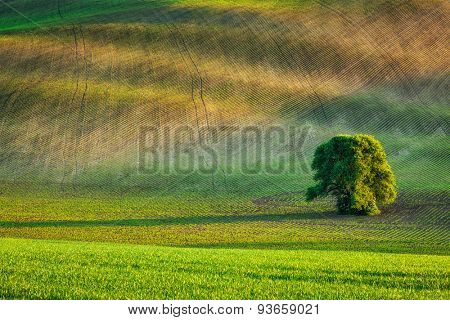 Lonely tree in rolling fields landscape of Moravia, Czech Republic