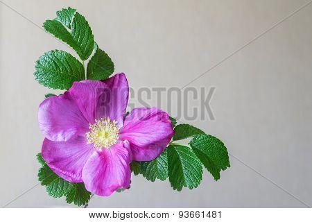 Big Blossomed Dog-rose Flower