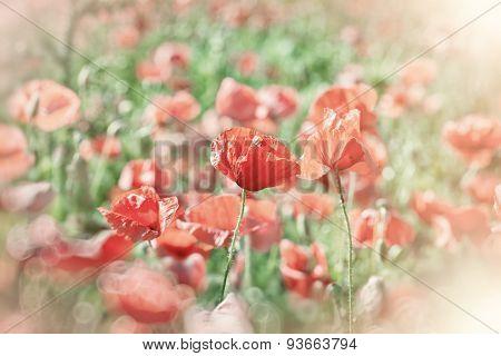 Poppy flowers (wild poppy flowers)