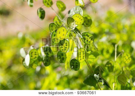 Lunaria Green Flowers