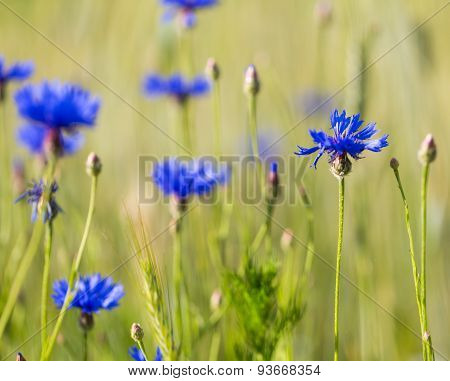 Cornflowers Growing On Field