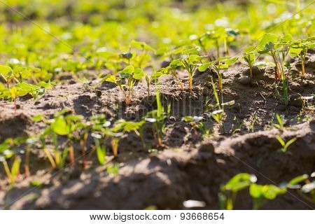 Buckwheat Sprouts Growing On Field
