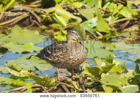 Female mallard-Anas Platyrhynchos- lateral view