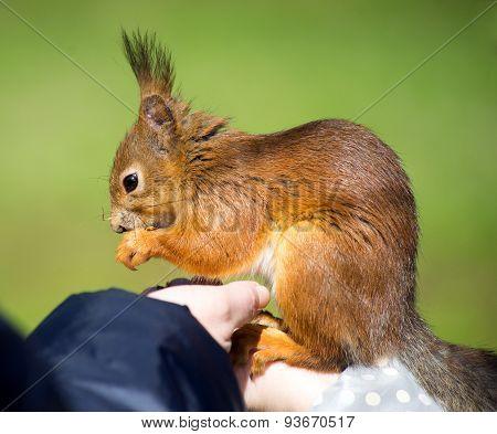 Squirrel In Human Hands