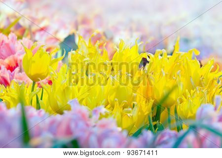 Blossoming Yellow Tulips