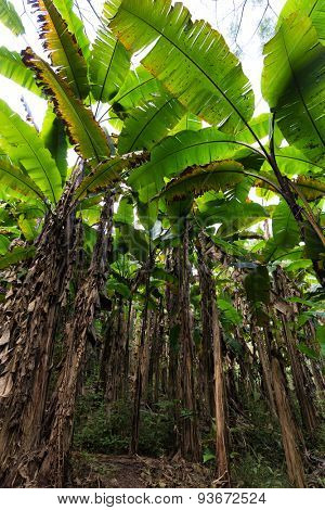 Wild banana tree plantation in Thailand, view from below