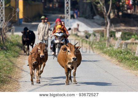 Brown cows running in countryside street with motorbike behind, Mai chau, Vietnam