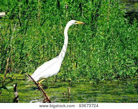 great egret in the marsh