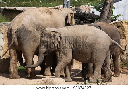 Indian elephants (Elephas maximus indicus). Wildlife animals.