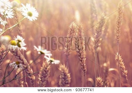 Beautiful wheat field and daisy flower