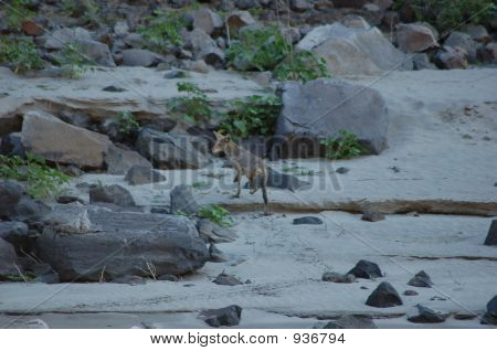 Cayote Scurries Out Of The River