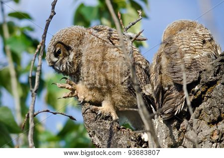 Young Owlet In Its Nest With Claw Extended