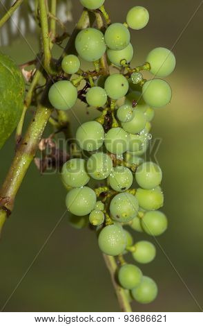 Wet Grapes