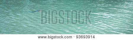 Varanus Salvator Swimming In Pond
