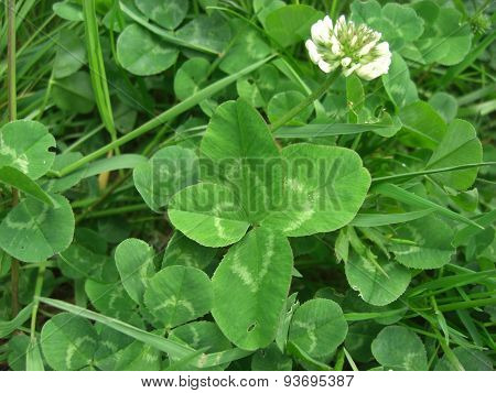Four Leaved Clover