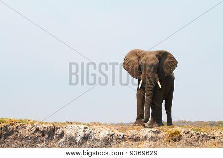 Majestic African Elephant