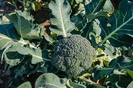 pic of nutrients  - Mature Broccoli or Brassica oleracea plant in the field ready for harvesting - JPG
