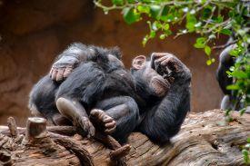 picture of chimp  - Wild Black Chimpanzee Mammal Ape Monkey Animal - JPG