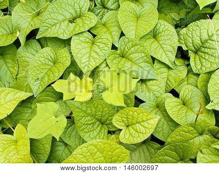 Leaves of weed as background or texture