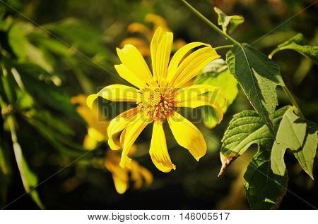 Mexican Sunflower or Bua Tong in Mae Hong Son, Thailand. Close up of yellow Bua Tong flower.Soft focus Bua Tong flower.