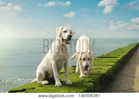 two cute young labrador dog puppies sitting in front of the sea on a wall