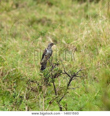 gemeinsame Cuckoo juvenile