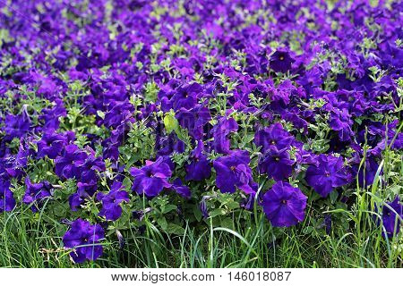Flowers of bright lilac petunia nature background