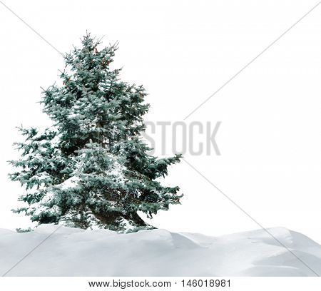 Fir-tree with snow on beautiful natural snowdrift with white background